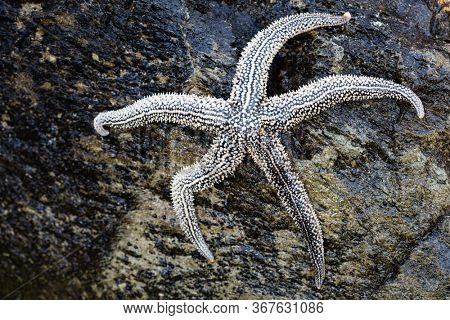 Large living starfish lies on a stone