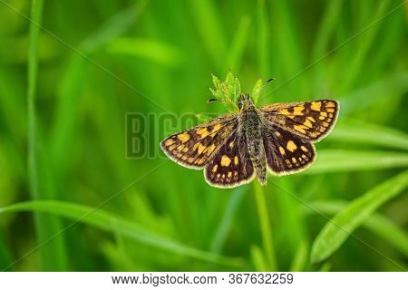 Close Up Image Of A Small Bright Orange And Brown Butterfly, The Chequered Skipper, With Open Wings