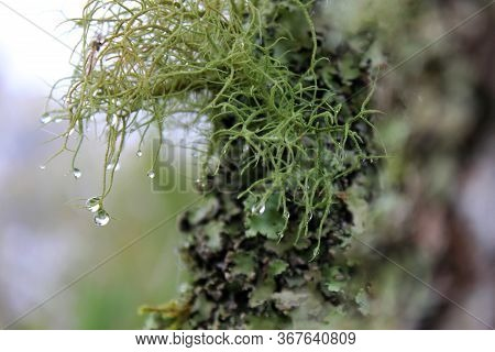 Closeup Of A Wet Lichen ( Usnea Filipendula). Photo Taken In The Morning With The Dew Droplets Hangi