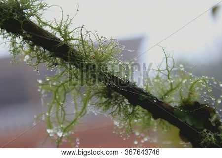Closeup Of A Tree  Branch With Lichens ( Usnea Filipendula). Photo Taken In The Morning With The Dew