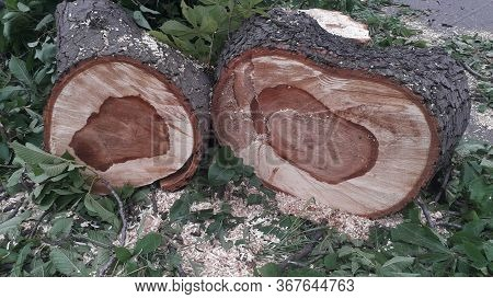 A Large Trunk Of A Fallen Tree Is Cut Into Stumps