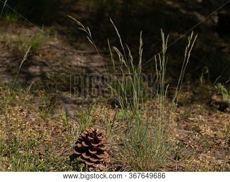 Wild Flower, Grass, Fir Cone, Cone Close Up On A Nature Background. Spruce Grass And Cone In The For