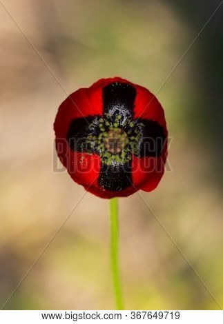 Red Poppy Flower On A Green Bokeh Background. Rich Colors And Top View. Black Cross
