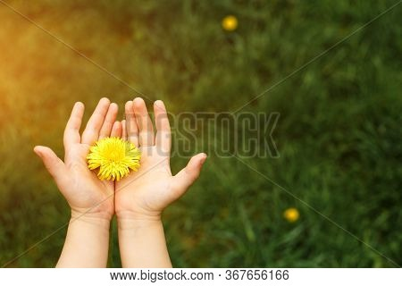 Children\'s Hands Hold A Yellow Dandelion Flower Against A Background Of Green Grass. Hello Summer,
