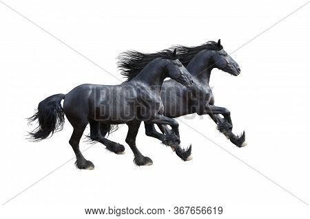 Two Black Friesian Horses Gallop Isolated On White