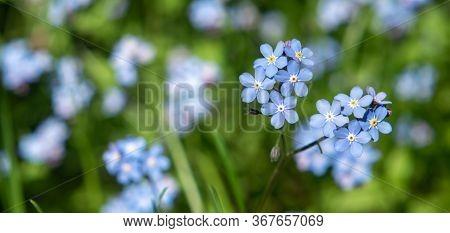 Blue Myosotis Flowers On A Blurry Background.
