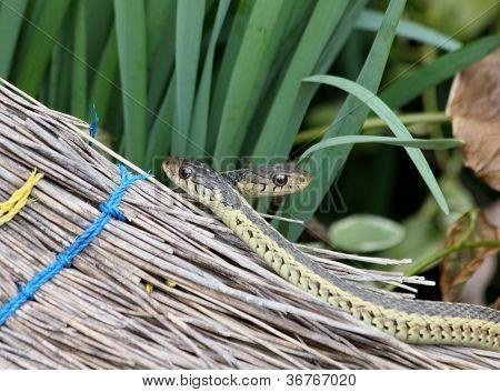 Garter Snakes And Broom