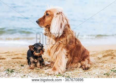 English Cocker Spaniel Dog - Stock Image