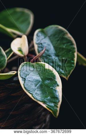 Soft Focus On A Variegated Leaf Of Hoya Carnosa Variegata
