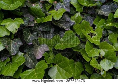 Green Growing Bush With Shrub Leaves.green Growing Bush With Shrub Leaves
