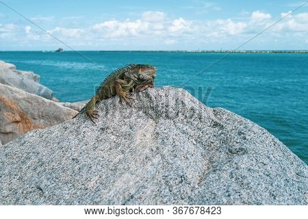 Ocean Rest. Iguana On The Stone. Beautiful Tropical Animal. King Iguana Resting On The Beach. Summer