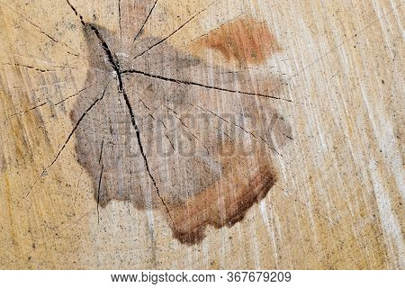 Slice Of Wood Timber Natural Background. Cross Section Log Texture.