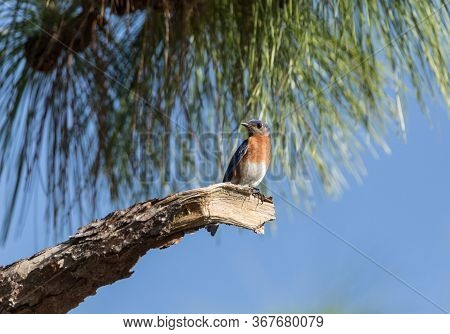 Male Eastern Bluebird Sialia Sialis Perches On A Branch High In A Tree And Looks Down In Sarasota, F