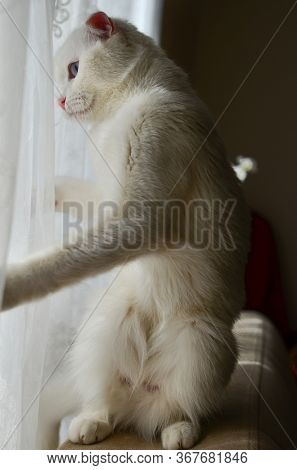 White Scottish fold cat with blue eyes waves in front of the window
