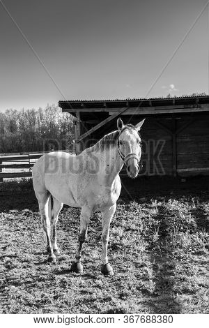 Beautiful White Horse With Bridle In A Farm