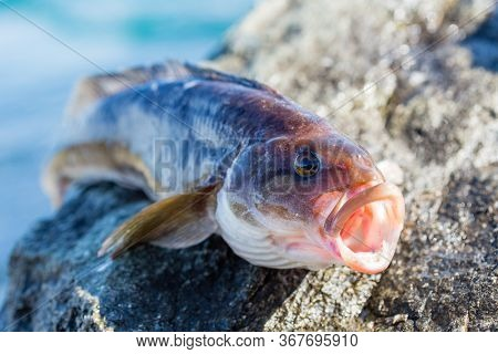 Freshly caught sea fish Arabesque greenling bass perch