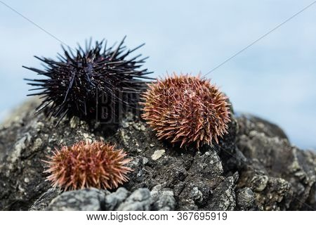 Live black and gray sea urchins lie on a stone