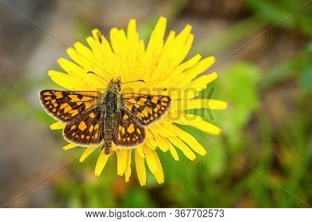 Close Up Image Of A Small Bright Orange And Brown Butterfly, The Chequered Skipper, With Spread Wing