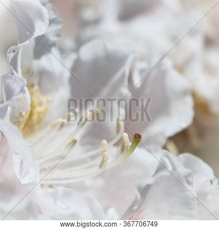 Botanical Concept - Soft Focus, Abstract Floral Background, White Rhododendron Flower Petals. Macro