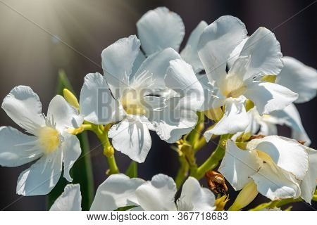 Beautiful White And Yellow Nerium Oleander Flower Plant Blossom In Tropical Garden. Nerium Oleander