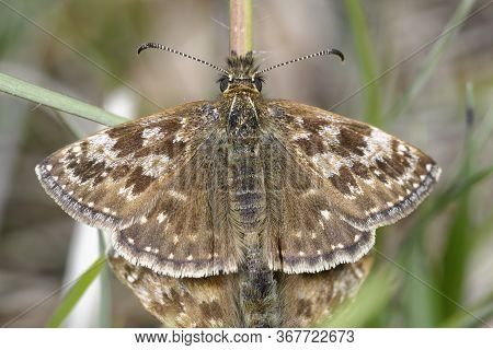 Dingy Skipper - Erynnis Tages  Male Of Mating Pair