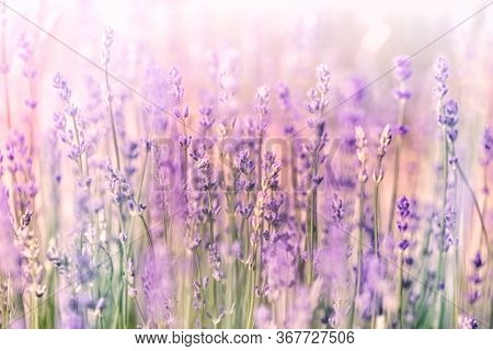 Selective And Soft Focus On Lavender, Beautiful Flowering Lavender Flowers, Lavendel Lit By Sunlight