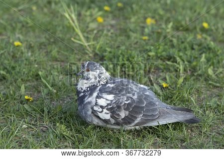 Beautiful Unusual Coloring Gray-white Dove Sits On The Grass Among Dandelions