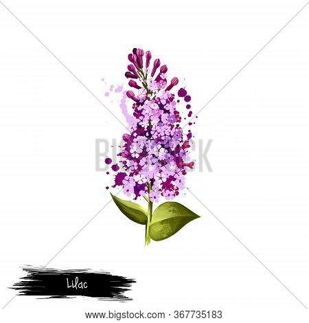Digital Art Illustration Of Common Lilac Isolated On White. Hand Drawn Flowering Bush Syringa Vulgar