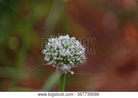 Close Up Of White Flower Of Onion Blooming In The Nature, Macro View Onion Flowers In The Garden Bed