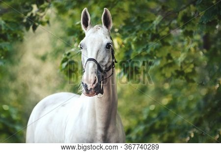Closeup Portrait Of Graceful Thoroughbred Gray Horse In Green Park. Multicolored Horizontal Summerti