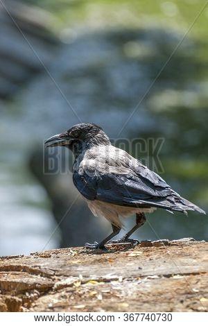 The Hooded Crow (corvus Cornix) .