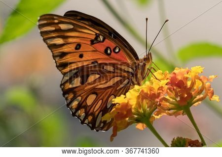 Close Up Of A Beautiful Gulf Fritillary Partaking Some Nectar From The Lantanas At Yates Mill County