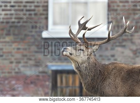 Close-up Of A Red Deer Stag During Rutting Season In Autumn In An Urban Setting, Uk.