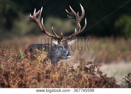 Close-up Of A Red Deer Stag Standing In Fern During Rutting Season In Autumn, Uk