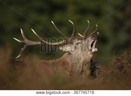 Close Up Of A Red Deer Male Calling During Rutting Season In Autumn, United Kingdom.