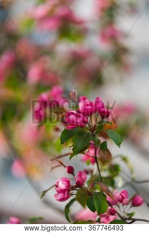 Flowering Branches Of Sakura, Cherry, Apple Tree In The Spring Garden. Spring Flowers On The Branche