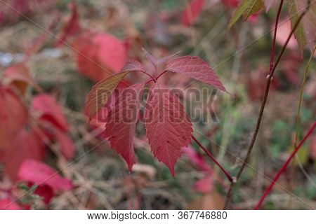 Wild Grapevine Red Autumn Leaves. Template For Design