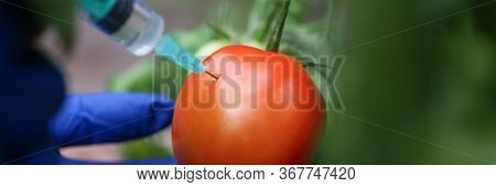 Injection Vegetable For Quick Ripening Tomato. Man In Nylon Gloves Holds Small Syringe In His Hands,