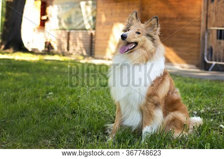Dog Collie Redhead With White, Dog Sitting On Grass Near House