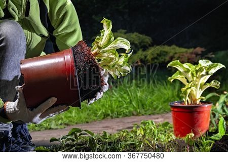 Woman Gardeners Hand Transplanting Bright Plants In The Garden. Host Plant Is Transplanted From The