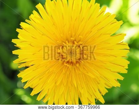 Dandelion Flower Close-up. Top View On A Background Of Green Grass. Yellow Petals, Stamens And Pisti