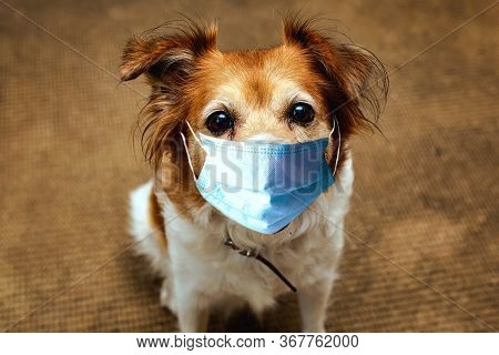 Dog Wearing Safety Mask For Protect Corona Virus, Covid 19 Protection Mask On Cute Brown Dog, Portra
