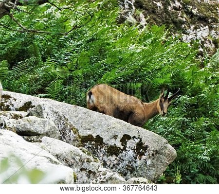 Close-up Of A Chamois Goat-antelope Spotted Climbing A Rock In The Vosges, France