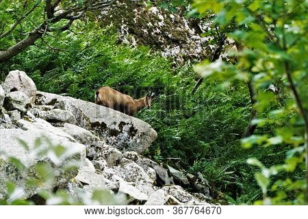 A Chamois Goat-antelope Spotted On A Rock In The Vosges, France