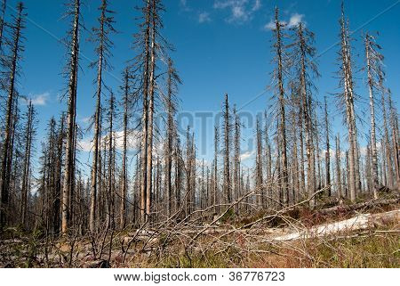 Dead Forest In Pl�ckenstein, Germany