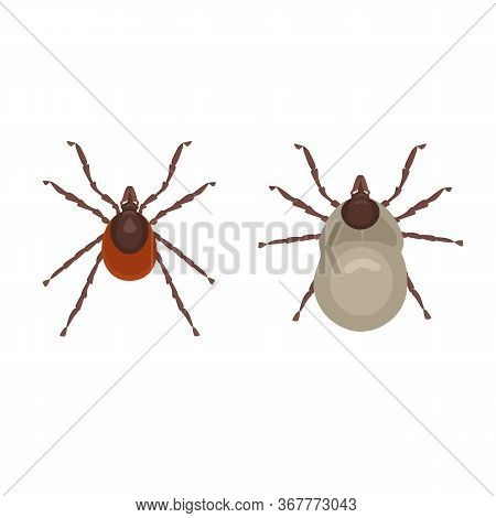 Tick Forest Parasite, A Carrier Of Dangerous Diseases. A Tick In The Normal State And After It Is Bi