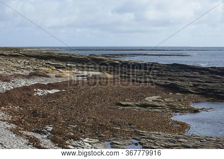 Group Of Southern Elephant Seal (mirounga Leonina), Females With Pups, Lying On A Shingle Beach At E