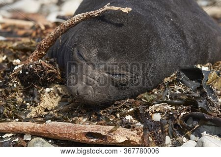 Elephant Seal Pup (mirounga Leonina) Lying On A Shingle Beach At Elephant Point On Saunders Island I