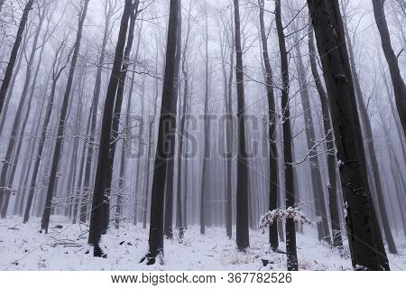 Fairytale Winter Nature With Creeping Fog, Which Gradually Floods Every Tree In The Forest. Oak Fore