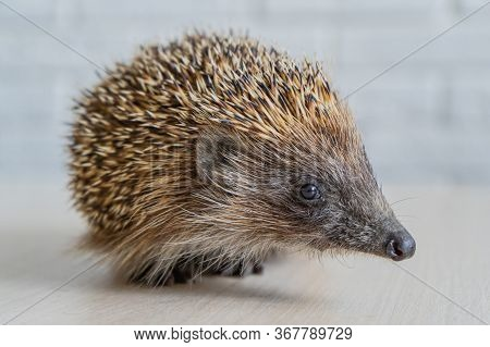 Wild Hedgehog. Small Mammal With Spiny Hairs On Its Back And Sides